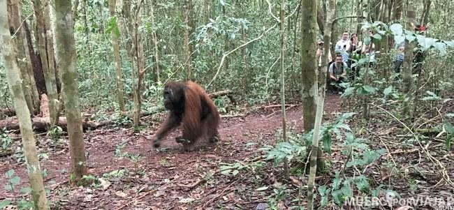 En nuestra primera parada nos cruzamos con una orangután que iba hacia la comida, siempre hay que respetar su espacio