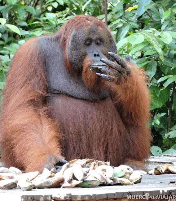 Es impresionante poder ver tan de cerca a los Orangutanes