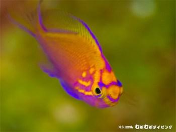 ハナゴンべ幼魚。ビビットです!