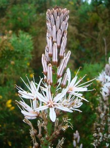 ดอกอัสโฟเดล ภาพจาก https://global.britannica.com/plant/asphodel-plant