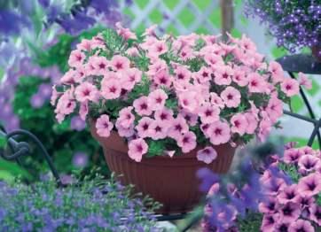 ดอกเพ็ตทูเนีย ภาพจาก http://tried-and-true.com/annuals/petunia/