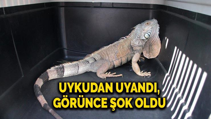 Bodrum'da iguana alarmı