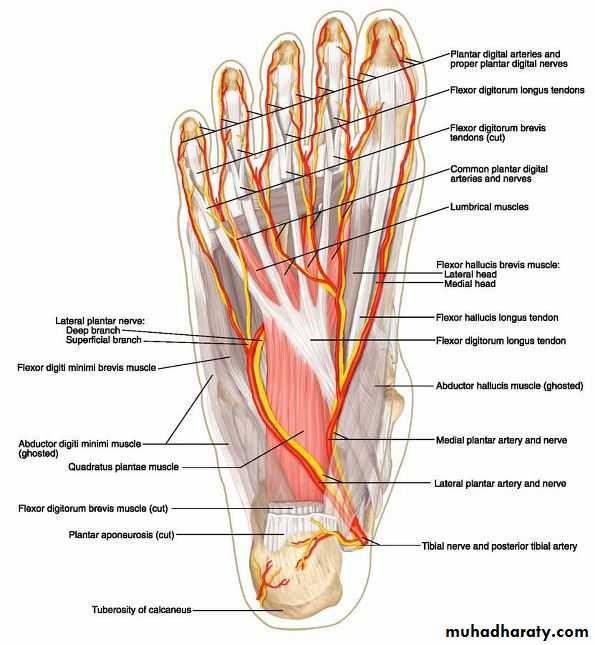 Bottom Foot Surface Anatomy