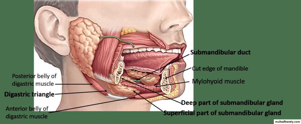 medium resolution of salivary gland ppt