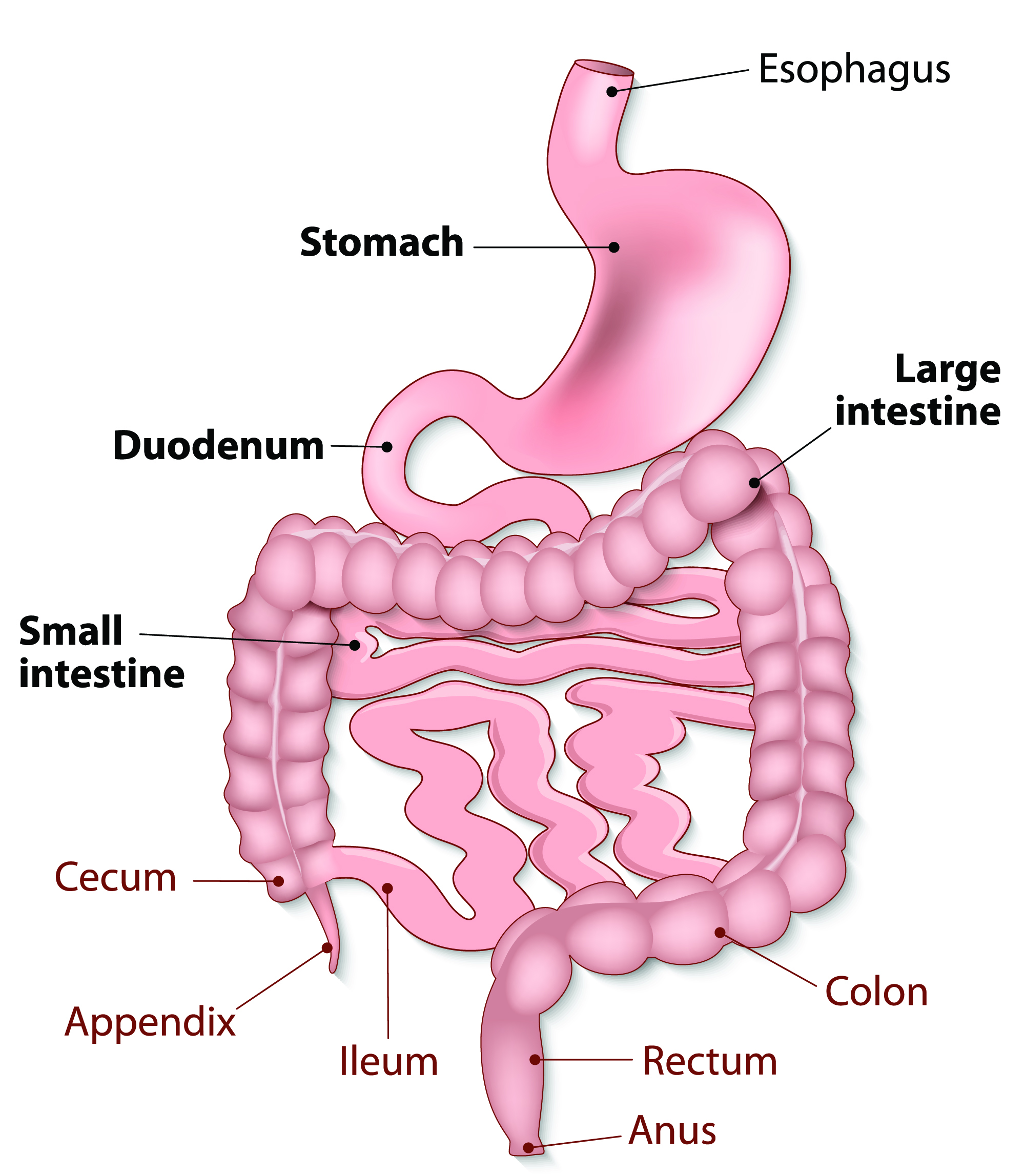 diagram of large intestine and colon 1997 ford f350 trailer wiring how your gastrointestinal tract works mu health care