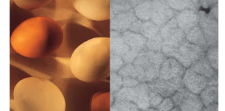 Kalsit sütunlarını gösteren bir yumurta kabının röntgen görüntüsü