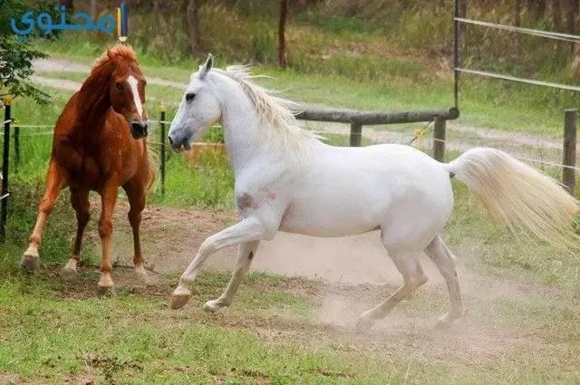 صور الخيول بيضاء وسوداء 2019 موقع محتوى
