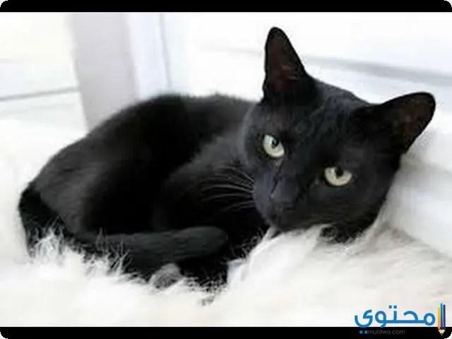 معاني ودلالات القطط السوداء في الحلم موقع محتوى