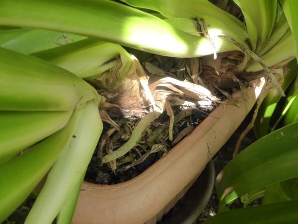 Schmucklilie pflege  Beliebtester Schmuck