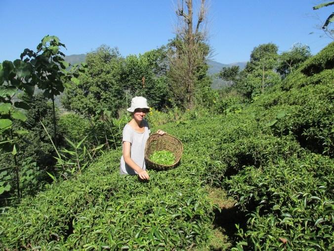 Recolectando té en Nepal
