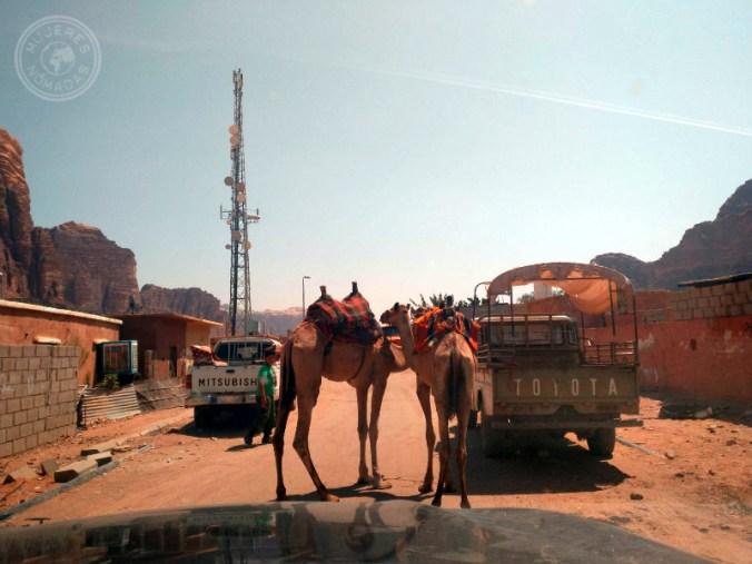 ¡Es muy común encontrarte camellos en la carretera mientras conduces!