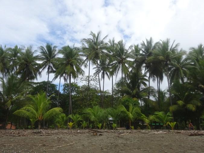 Salvaje Puerto Jiménez. Costa Rica.