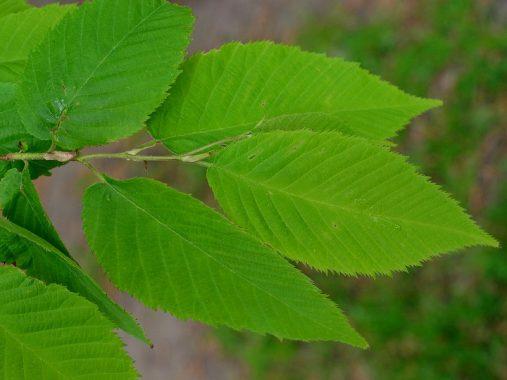 アサダの葉