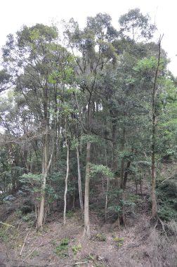 シイ・椎の森