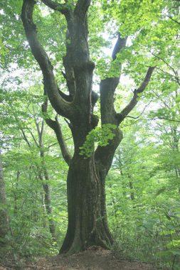 ミズナラの立木
