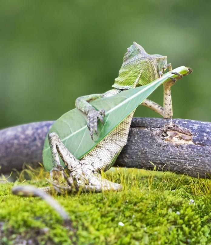 Lagarto tocando guitarra