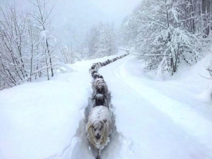 Ovelhas na Neve