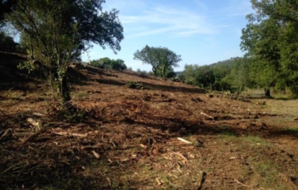 Ripulitura di oliveta secolare abbandonata