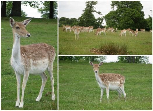 Knole deer
