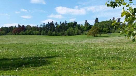 Loseley Park field of dandelion clocks