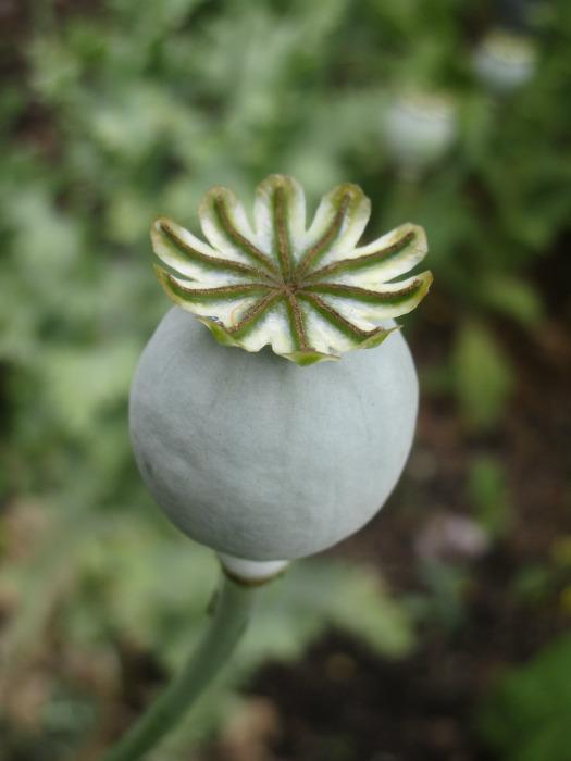 Lullingstone Castle World Garden flower 2
