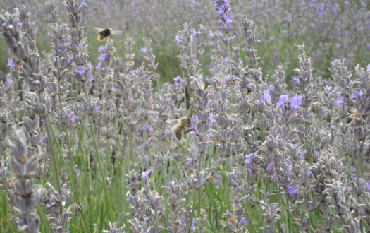 Mayfield Lavender bees