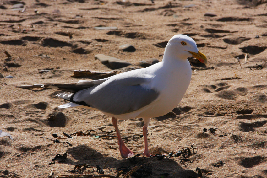 Bude beach 4 sea gull