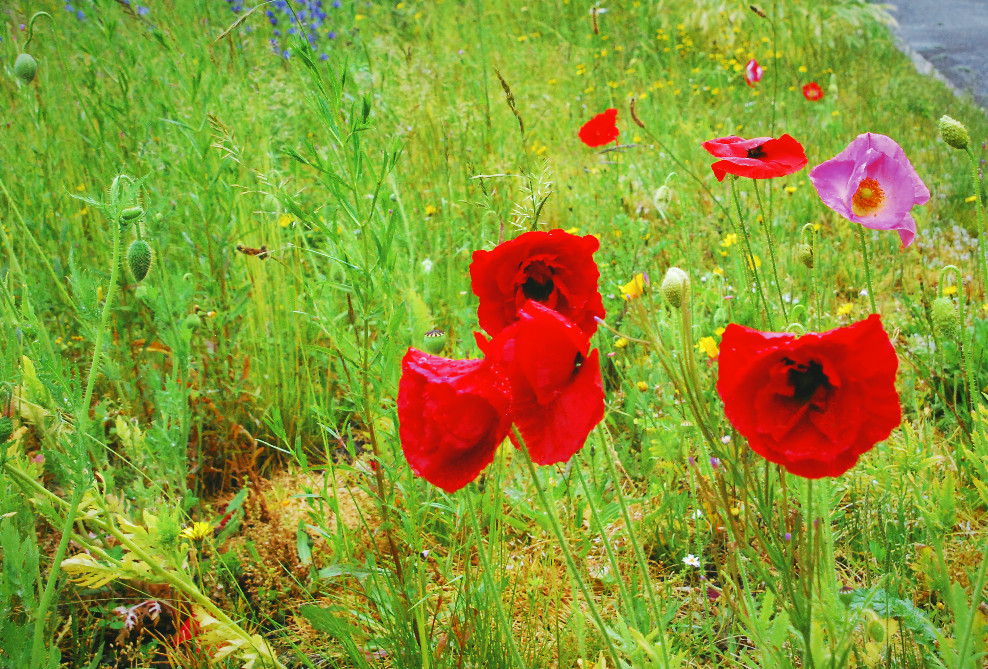 Poppies beside road
