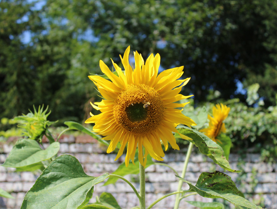 Sunflowers at Chawton House Library