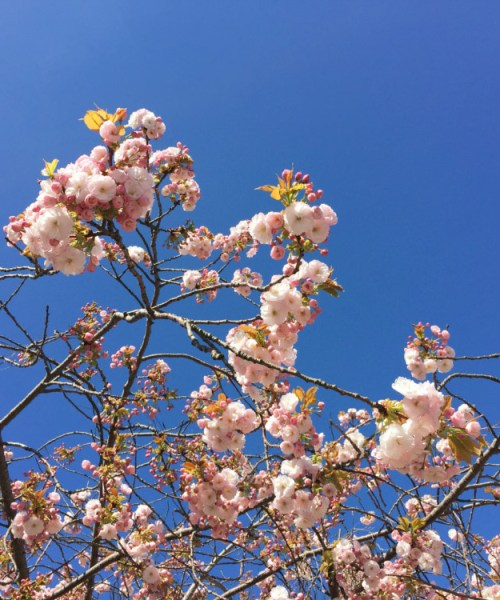 Pink blossom on a tree is contrasted with a bright blue cloudless sky