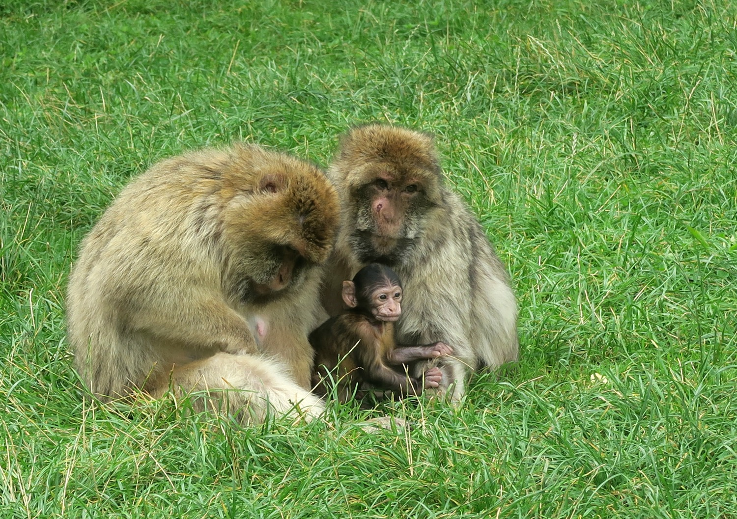 One of the baby monkeys at Trentham Monkey Forest along with two adult females - our family day out to the Trentham Estate