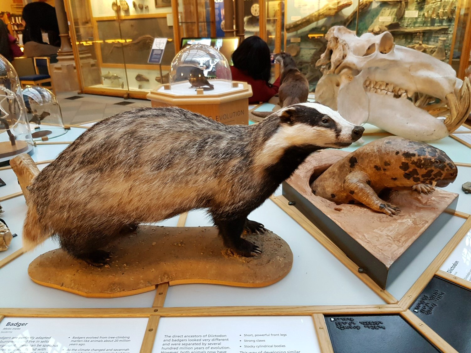 Badger - one of the exhibits at Oxford University Museum of Natural History. Our Oxford University natural history museum day out