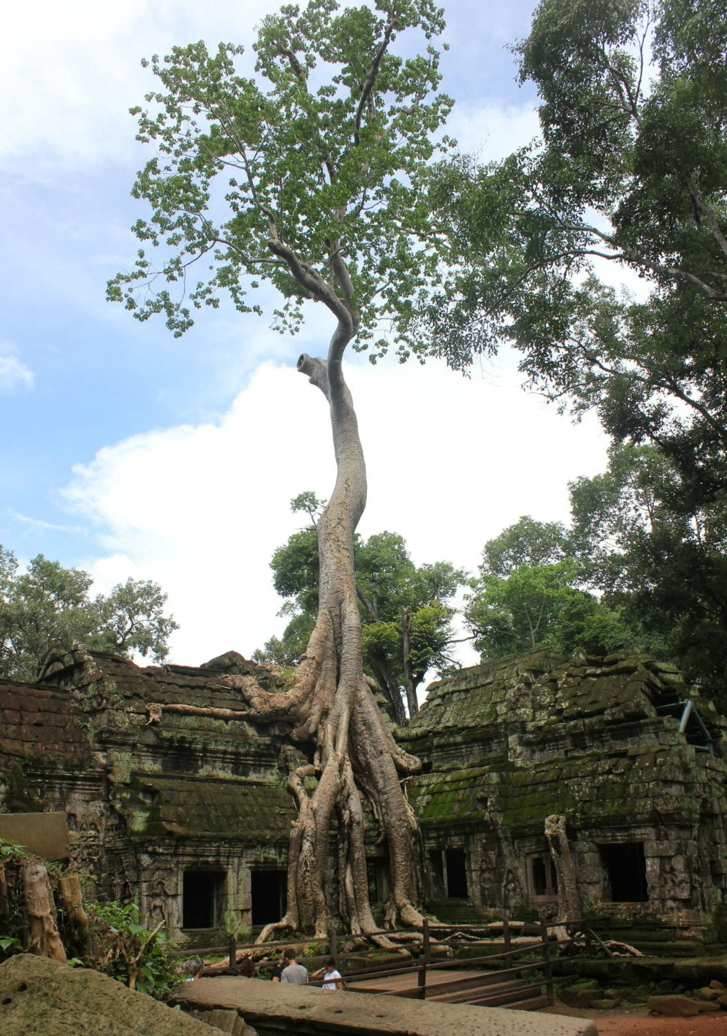 Tree roots twine around the 'Tomb Raider' temple of Ta Prohm - 12 reasons to visit Cambodia with kids