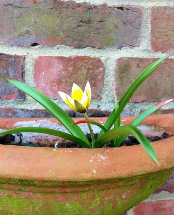 spring, tulip, simple, mumof2, growing up