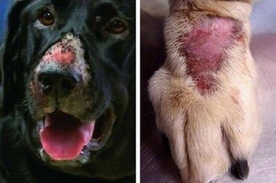Warning To Dog Owners-Alabama Rot Disease