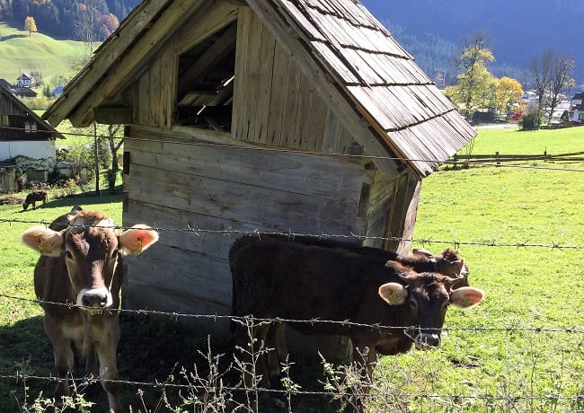 Cows in Gosau, Austria