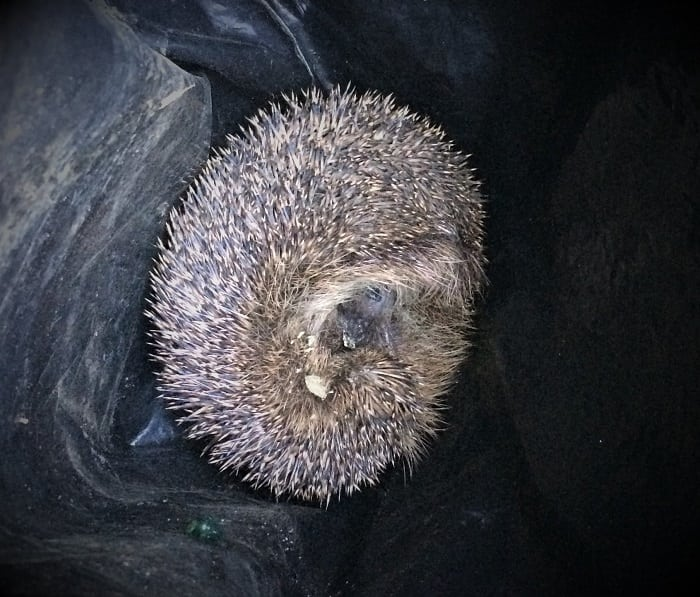 Hedhog found in plastic bag