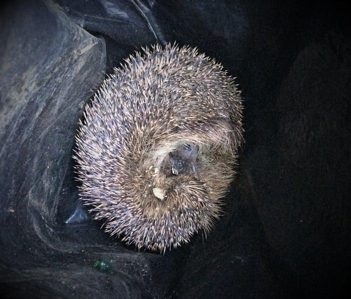 Hedhog found in plastic bag