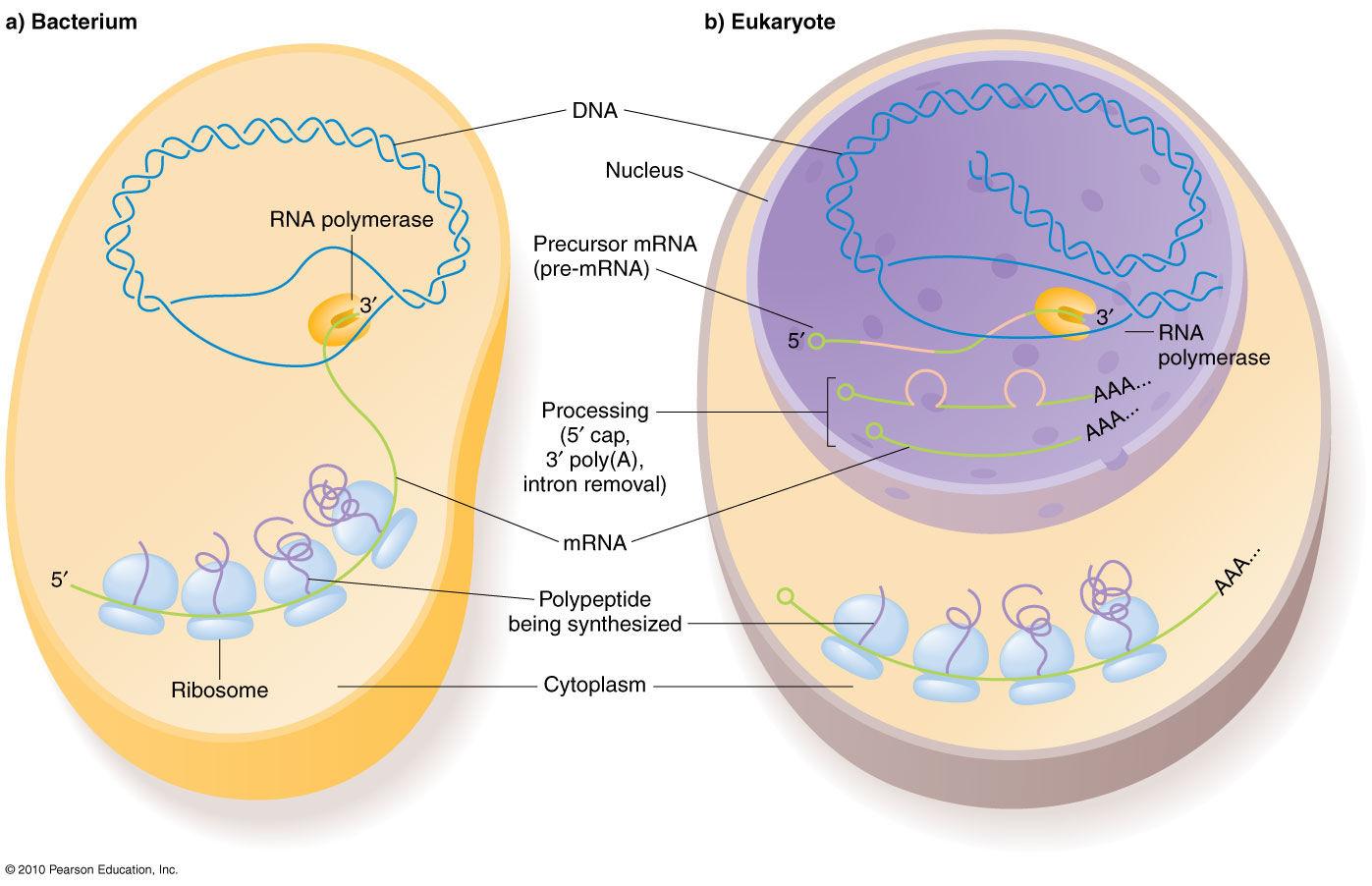 Transcription In Prokaryotes Vs Eukaryotes
