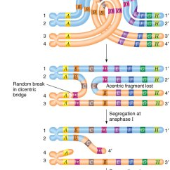 Chromosome Structure Diagram Happiest Baby On The Block Swaddle Paracentric Inversion
