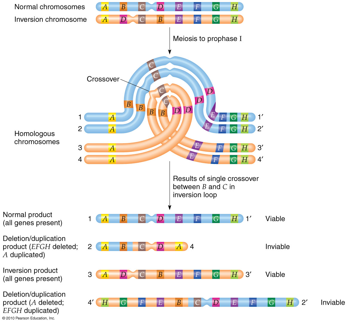 meiosis vs mitosis diagram clipsal rj12 wiring pericentric inversion
