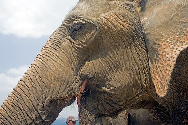 Elefante-tailandes-en-Chiang-Mai