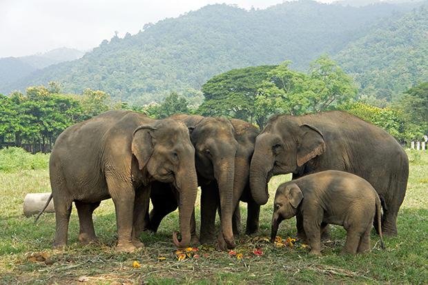 Familia-de-elefantes-en-el-Elephants-Nature-Park
