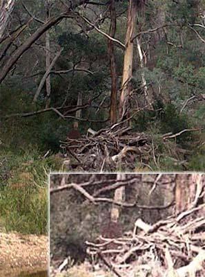 """Fantôme de la forêt suicidaire australienne - Photographie d'un fantôme dans la """"forêt suicidaire"""" australienne"""