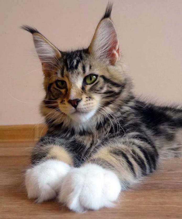 Maine-Coon1