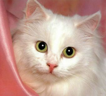 Cachorro de gato de angora blanco