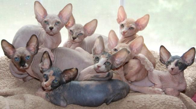 Gatos egipcios bebes 1703 movieweb - Cuidados gato 1 mes ...