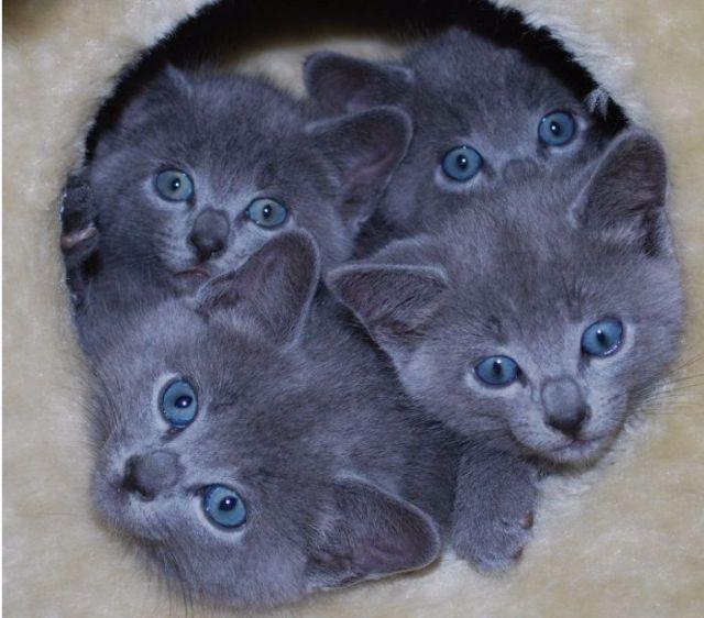 Cómo cuidar a un bebé de gato azul ruso