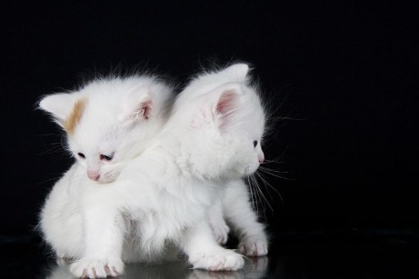 El bebé de gato van turco