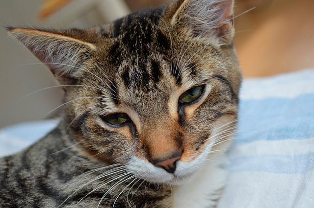 Carácter del gato Común Europeo